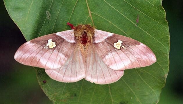 Dirphiopsis wolfei moth