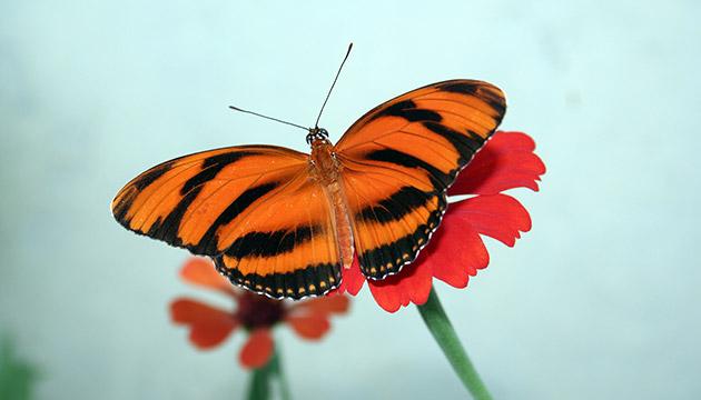 Dryadula phaetusa (banded orange heliconian butterfly)