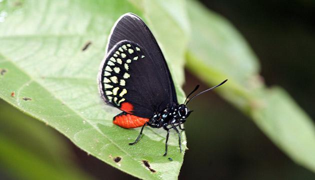 Eumaeus butterfly in Sierra Caral