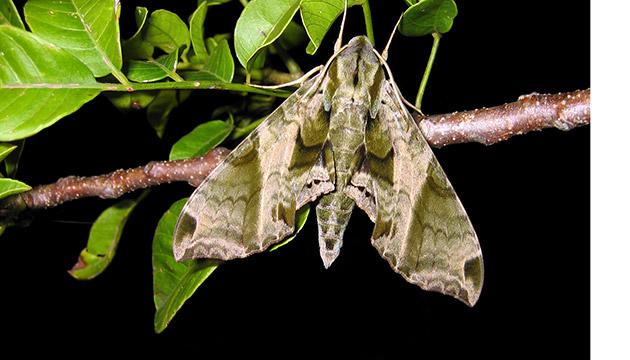 Eumorpha elisa moth
