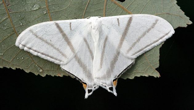 Geometridae moth