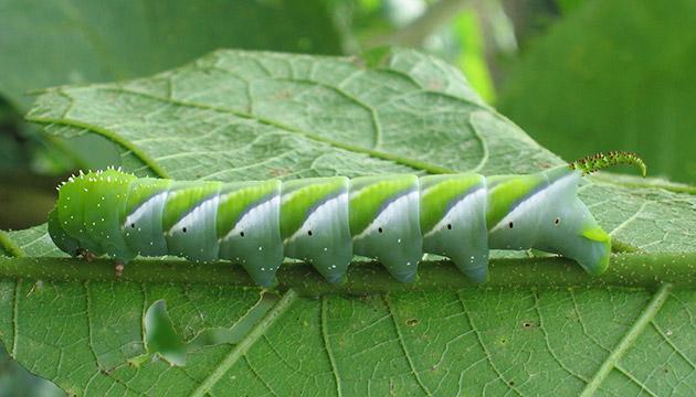 Gusano esfinge (sphinx larvae) in El Bojonal