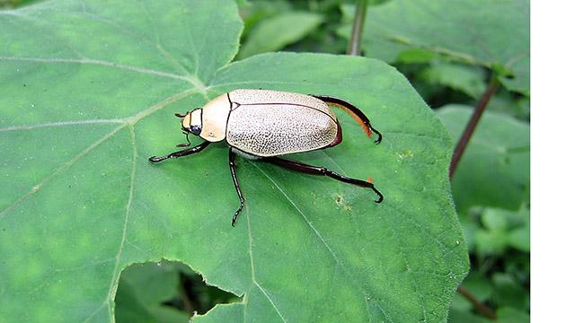 Heterosternus rodriguezi scarab beetle in El Bojonal