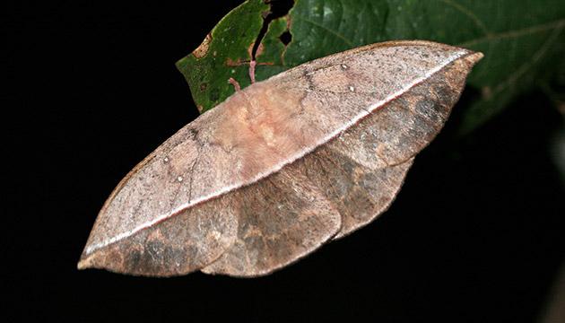 Lonomia electra moth