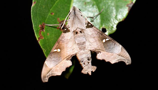 Madoryx oiclus moth