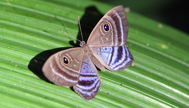 Mesosemia butterfly