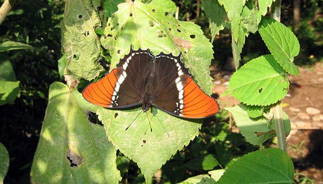 Metamorpha epaphus butterfly