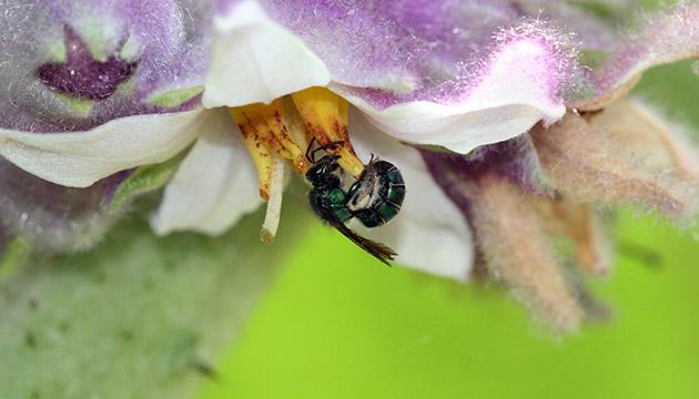 Abeja (bee) on a naranjillo flower