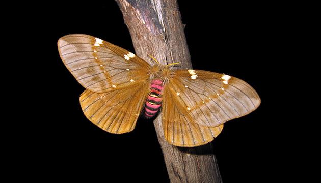 Paradirphia semirosea moth