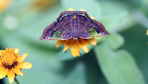 Riodinidae tarrales (metalmark butterfly)