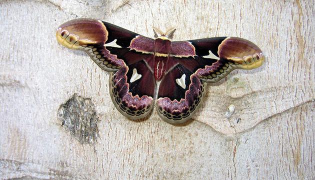 Rothschildia erycina (Rothschild's silk moth)