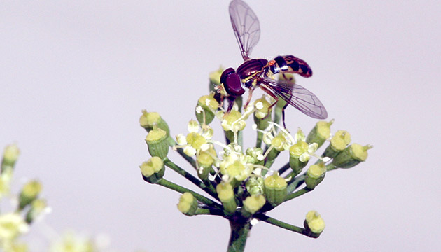 Syrphidae hoverfly