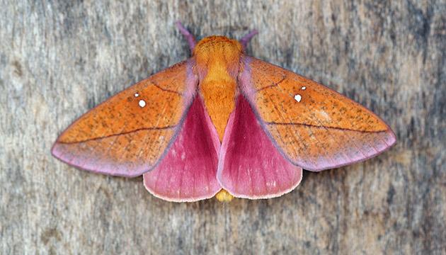Syssphinx quadrilineata moth