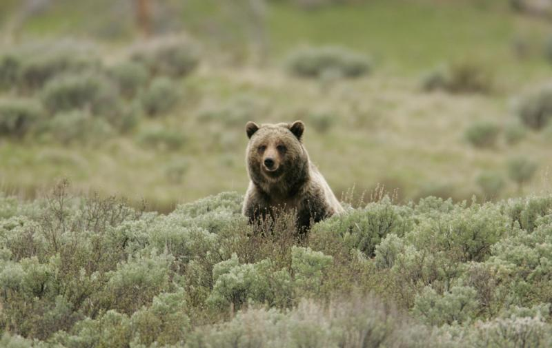Grizzly bear on Swan Lake Flats
