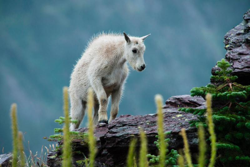 Mountain goad kid, Glacier National Park