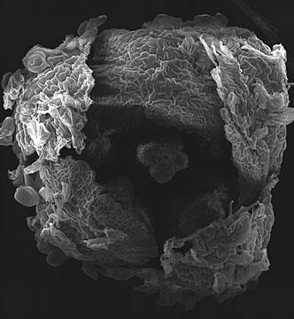 Bienertia cyclopteraflower