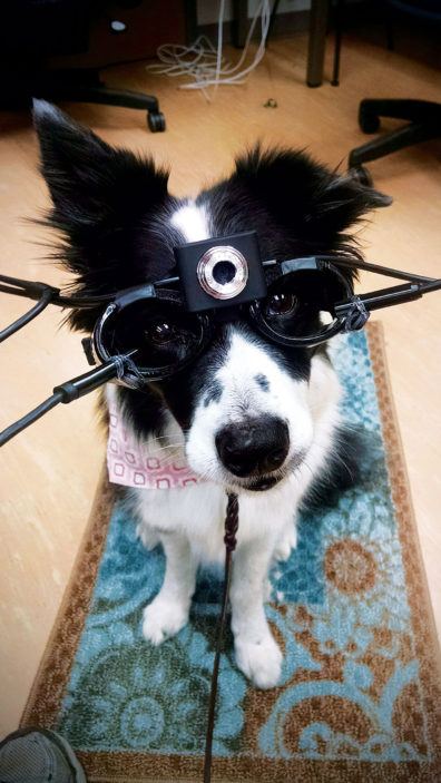 Border Collie, Dazzle, with doggles. Photo Katherine Martucci, courtesy Winter Herron