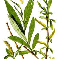 White Willow. Wikimedia