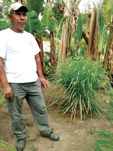 A local talking about the medicinal uses of the lemongrass plant