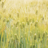 Barley. Photo United States National Arboretum