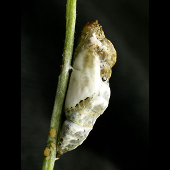 Becker's White butterfly pupa