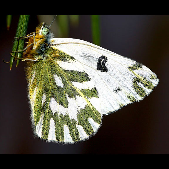 Becker's White butterfly adult ventral view