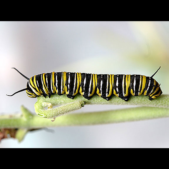 Monarch butterfly larval stage 5
