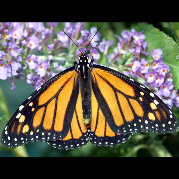 Monarch butterfly adult female dorsal view