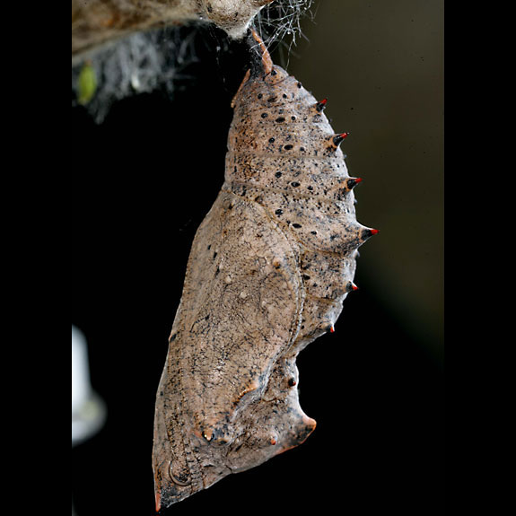 Mourning Cloak butterfly pupa