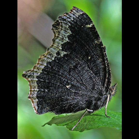Mourning Cloak butterfly adult ventral view