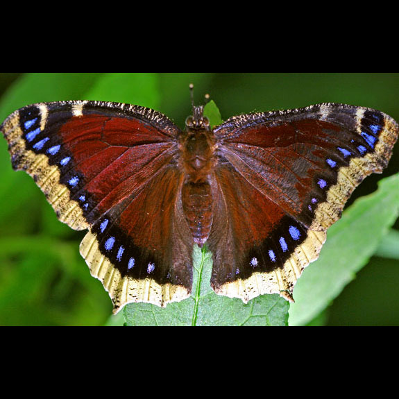 Mourning Cloak butterfly adult dorsal view
