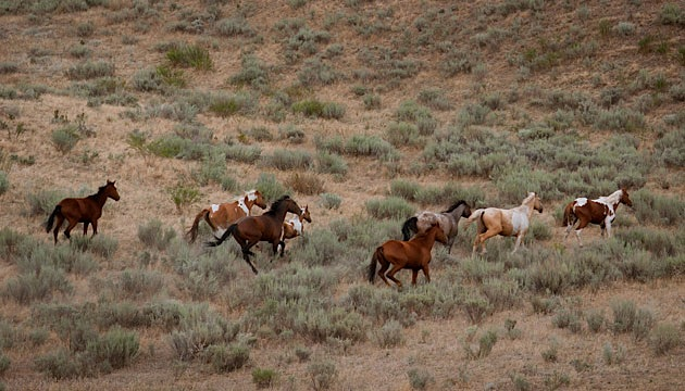 Horses on Colville reservation