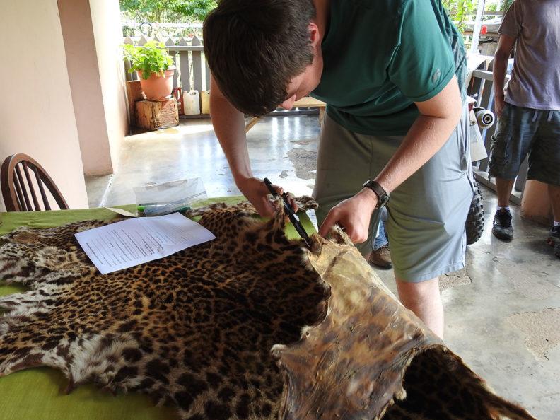 Inspecting jaguar pelt