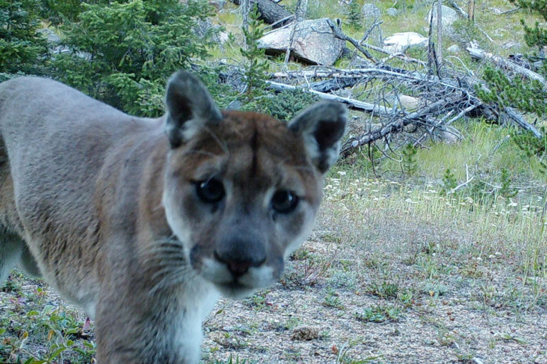 Cougar in Washington