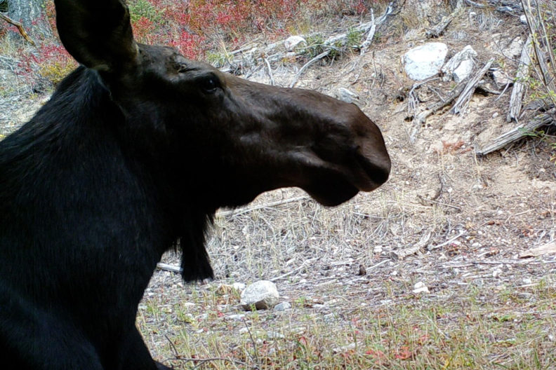 Moose in central Washington