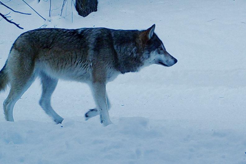 Wolf in central Washington