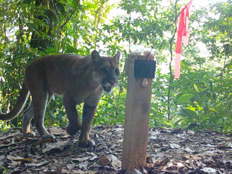 Puma in Honduras looks at a hair trap