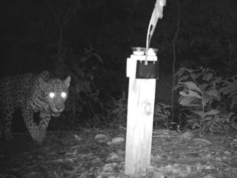Jaguar visits hair trap at night in Honduras