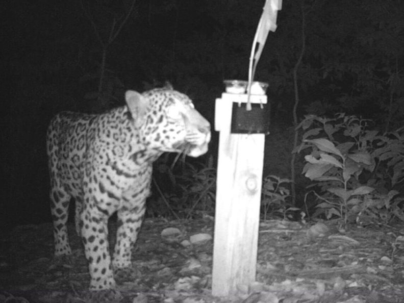 Jaguar at hair trap in Honduras