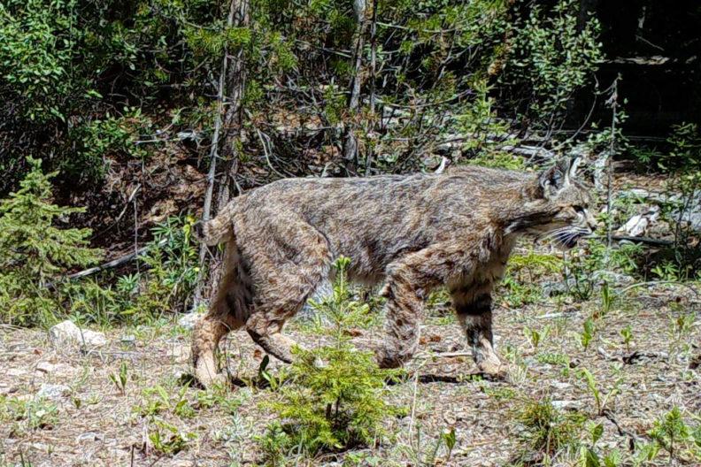 Lynx in Washington