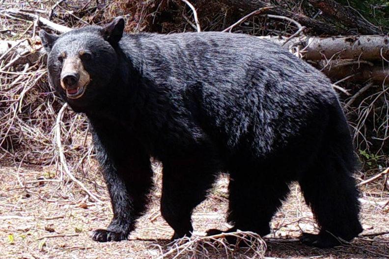 Black bear in central Washington