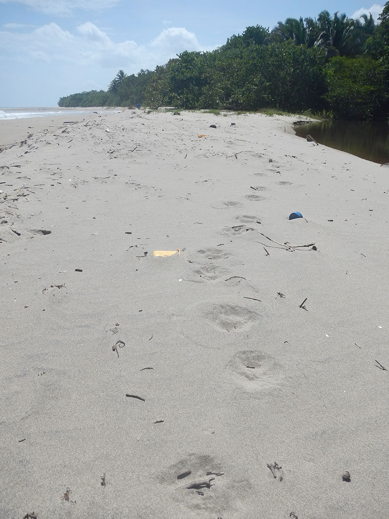 Jaguar tracks on Honduran beach