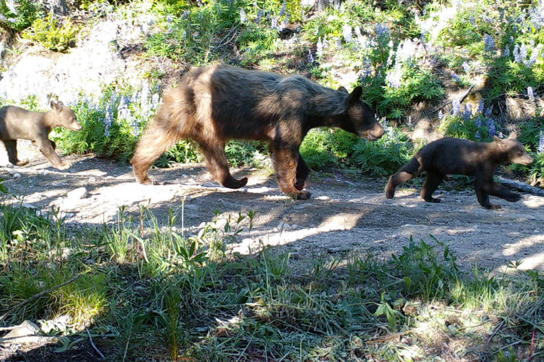 Bear family in central Washington