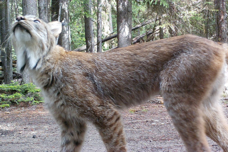 Lynx in central Washington