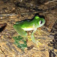 Frog in Honduras. Photo Travis King