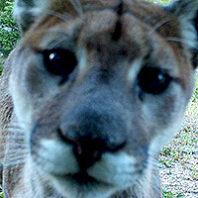 Cougar head on camera