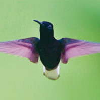 Black jacobin hummingbird