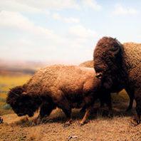 Bison (Photo iStock)