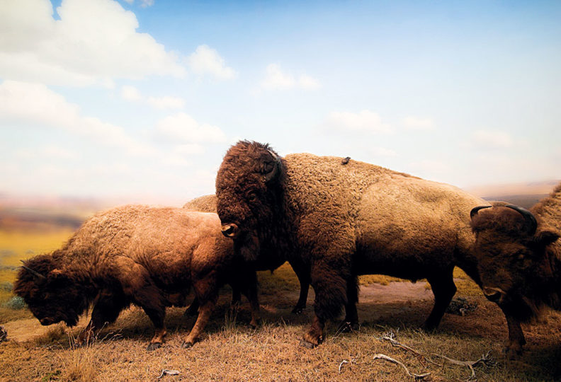 Taxidermy bison in museum