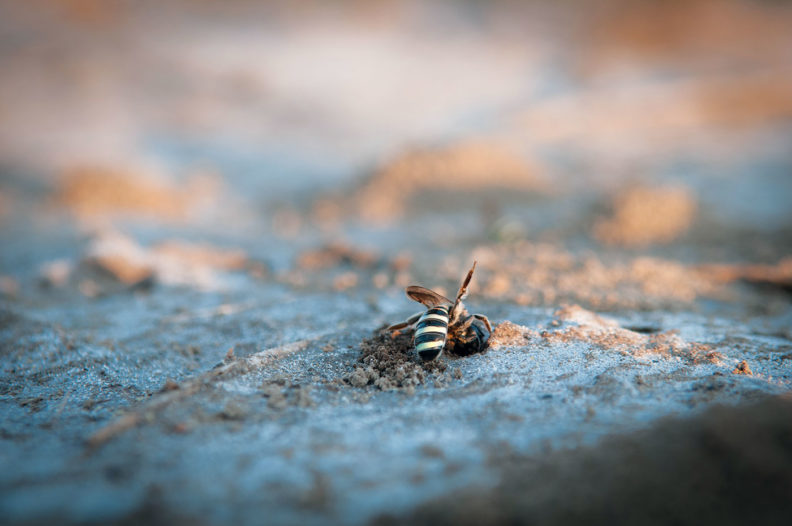 Alkali bee digging a hole